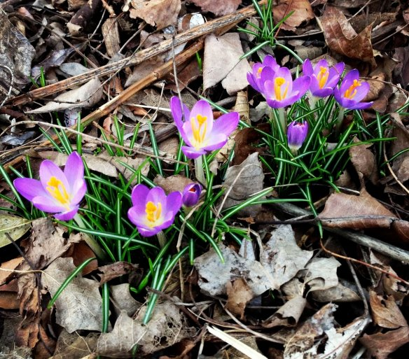 el jardin del paraiso - the first crocus of 2013