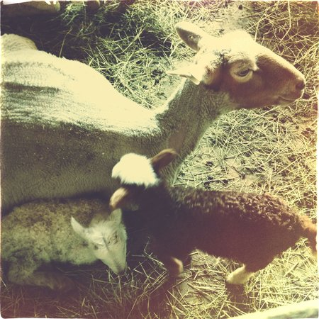 Early spring also means newly shorn sheep and new lambs. These twins are one day old here.