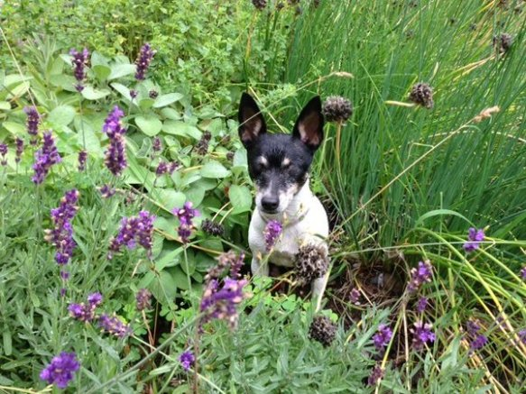 Millie must have liked the smells in the herb garden because she liked sitting there when I weeded.