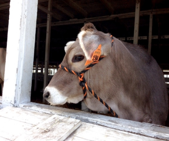 A pretty Brown Swiss cow