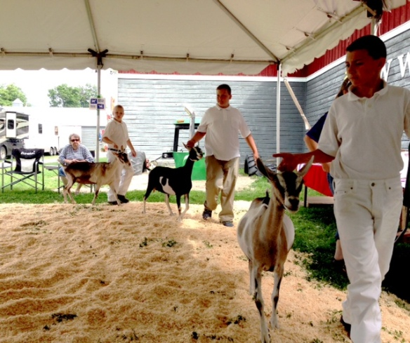 In the show ring - the dairy goats