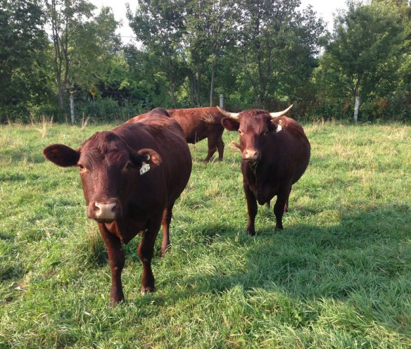 Devon beef cattle