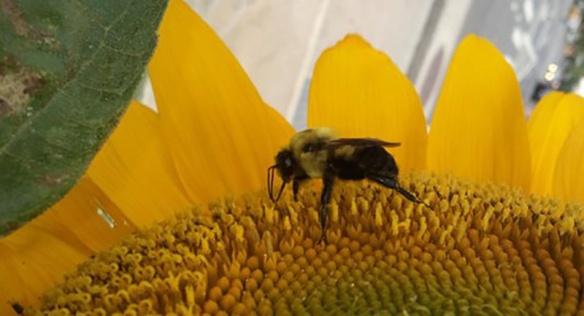 1_SunflowerWBee
