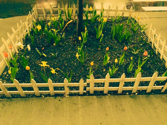 6_Tulips