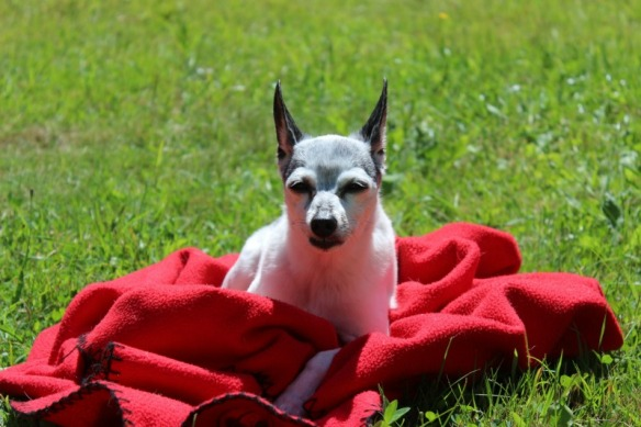 Lolo, a Toy Fox Terrier sun bathing