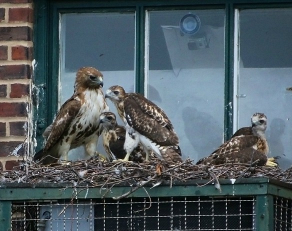 Dora and babies last year at the Christadora nest. Photo courtesy of: Laura Goggin Photography