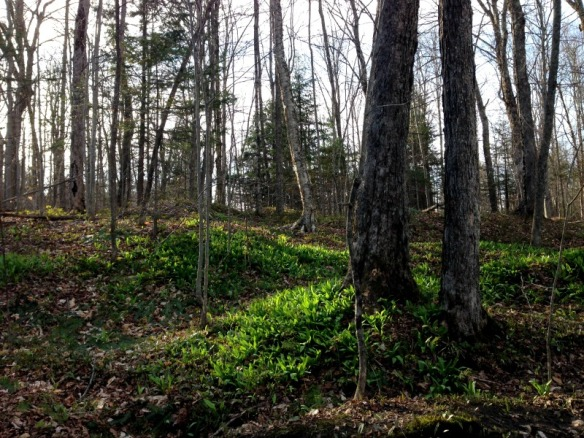 Ramps in a Vermont forest